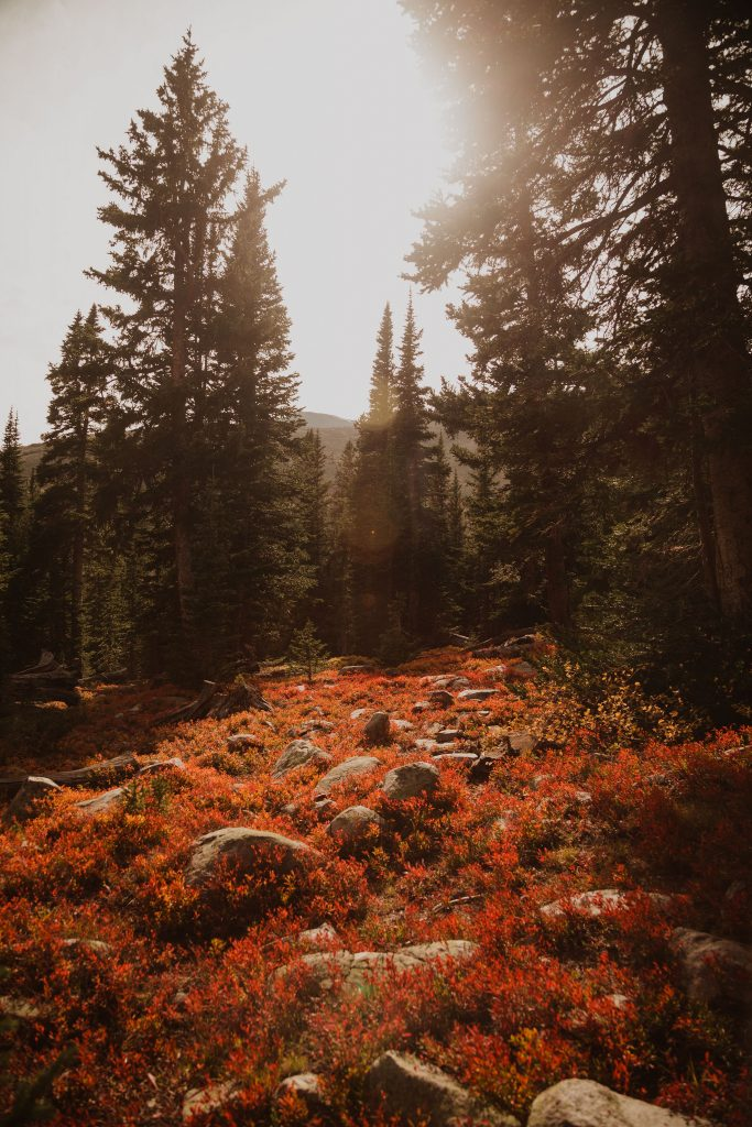 a photo taken in the wilderness of colorado, there is bright red fall foliage and tall evergreen trees