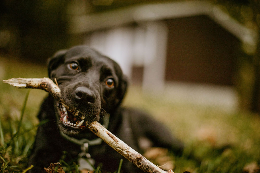 a black lab laying in the grass chewing on a stick