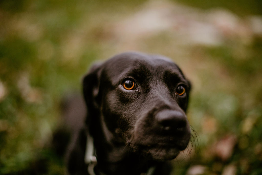 a close up of a black lab with bright orange eyes