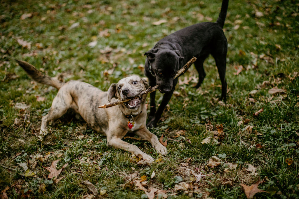 two dogs playing with a stick in the grass