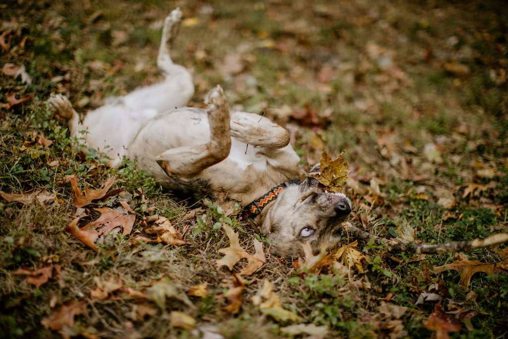 a tan brindle dog rolling around in the fall leaves