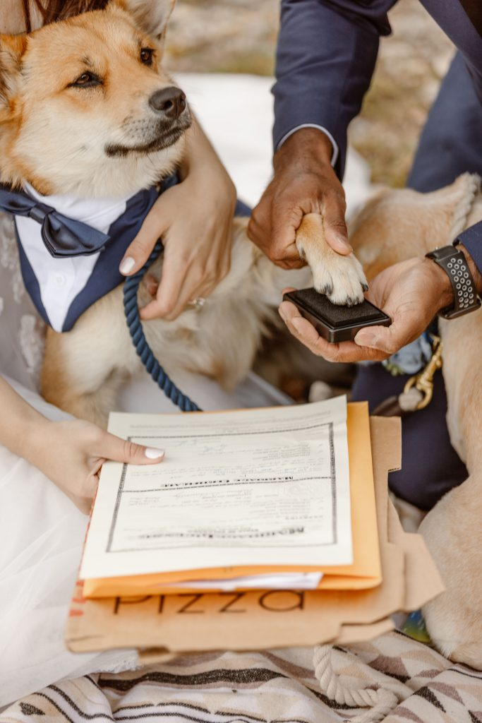 a brown and white dog with pointy ears is wearing a blue and white tux and having his paw pressed onto a stamp pad by his humans